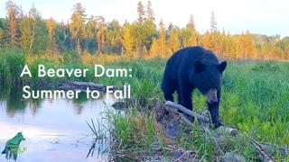 A beaver dam: summer to fall