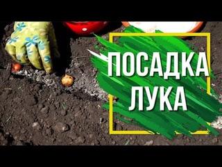 Как Посадить Лук Севок в открытый грунт 🌱 Подготовка Лука к Посадке 🌱 Советы садоводам ✔️