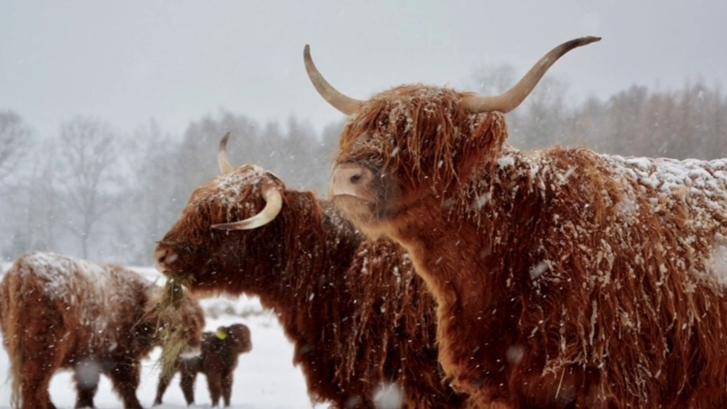4 pory roku na farmie Szkockie Krowy ZDJĘCIA