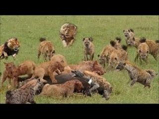 Два Самца Льва Пришли Освободить Львицу И Львят От Осады Жестоких Гиен
