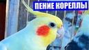 Очень красивое пение попугая кореллы. Как поет корелла.