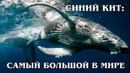 ГОЛУБОЙ КИТ Самое большое в мире животное Интересные факты про китов и обитателей мирового океана