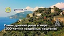 Самая древняя роща в мире 1000 летних каштанов на Корсике