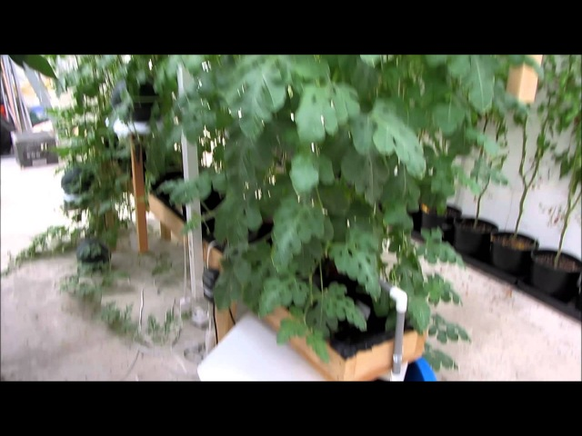 Growing Watermelon Hydroponically 3 of 3