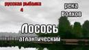 Русская рыбалка 4(рр4/rf4) - река Волхов. Лосось атлантический.