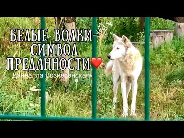 ❤️Белые волки символ преданности