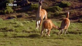 Мир животных  Дикая природа  Пума  Документальный фильм National Geographic