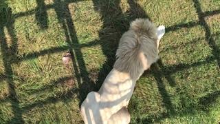 Бусинка разочарованный поспешил за своей пассией с завтрака The white lion hurried after the lioness