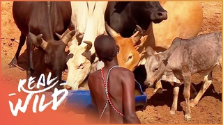 The Battle For Cattle (Wildlife Documentary)   Giving Nature A Voice S1 EP7   Real Wild
