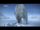 Суперхищники — Полярный медведь Документальные фильмы, передачи HD