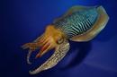 cute cuttle fish - HD1200×798