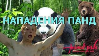 Нападения больших панд на людей