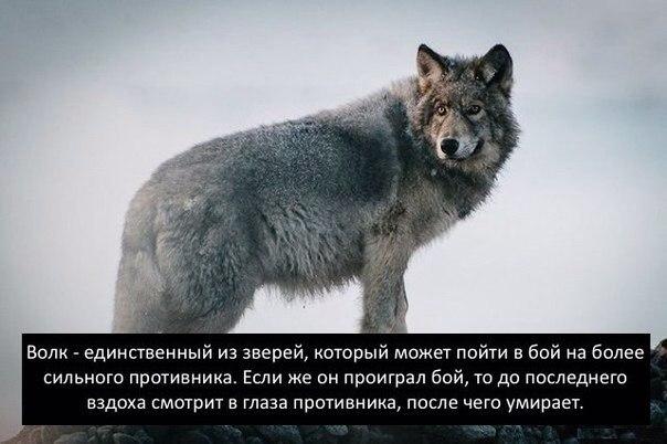 фото со смыслом орлов и волков ладилось актера
