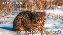 ПАРА СЛОВ об Амурском дальневосточном лесном коте Интересные Факты про диких кошек