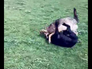 Небольшой волк против питбуля