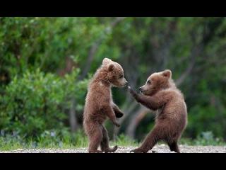 Мир животных. Жизнь медвежат лишившихся матери.