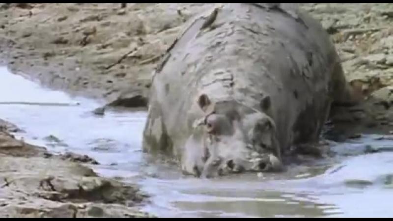 BBC Ребятам о зверятах Бегемоты 1 Сезон 1 Серия от ASHPIDYTU в 2006