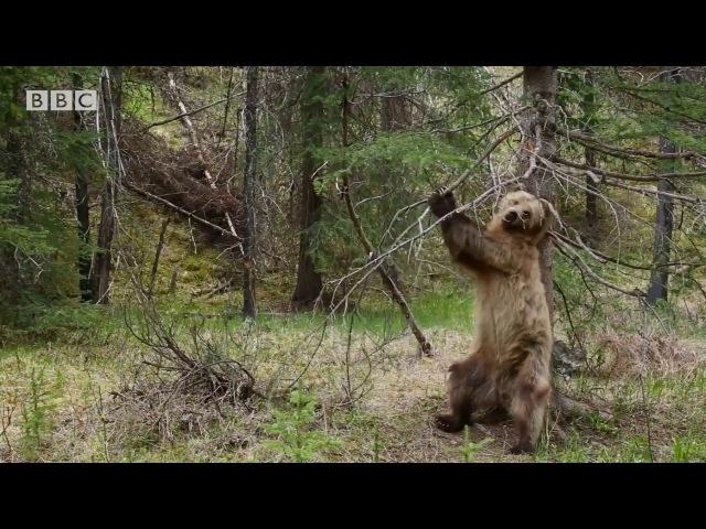 Bears Dancing To 'Jungle Boogie' Planet Earth II