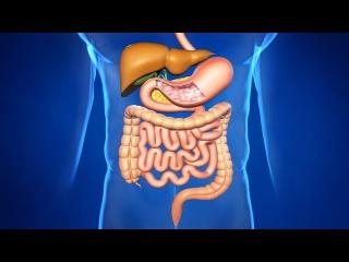 Пищеварительная система организма человека. Органы пищеварения, функции, схема