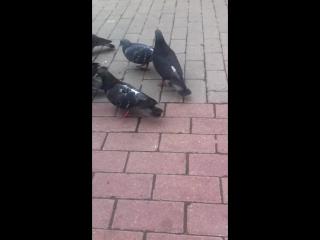 Глупые голуби