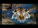 мой братан тигр 24 на 7