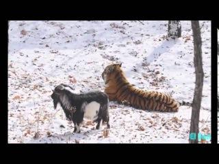 Друзей не выбирают тигр подружился с козлом Russian tiger befriends brave goat instead of eating it