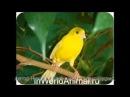 Песня кенара для обучения молодых самцов.