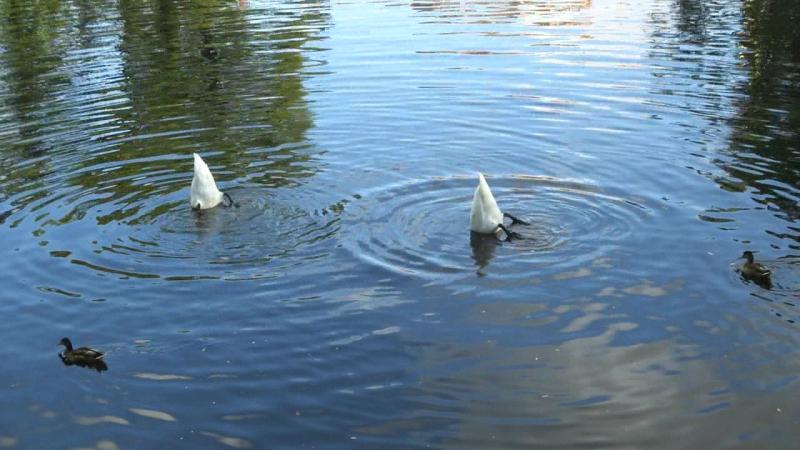 Наглые утки кусают лебедей за попу
