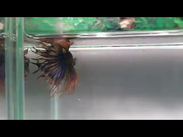 Fishchick Auctions Blue Orange Multi Crowntail Male (newlisting)(S107)
