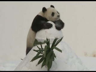 Giant Pandas Delight Visitors with Snowy Antics