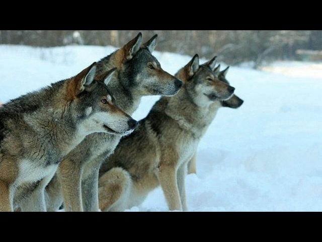 Волкособ – влчак чехословаций собака dog породы_собак гибриды_собак волкособ