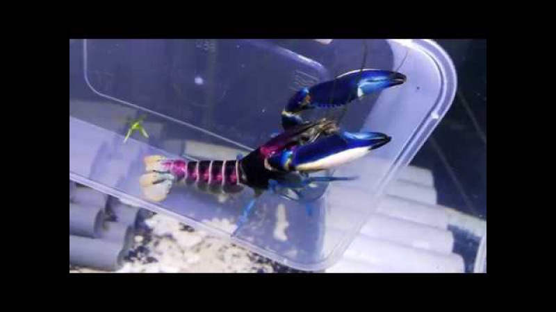 Cherax Pulcher Thunderbolt Crayfish Freshwater Lobster Rose Moon