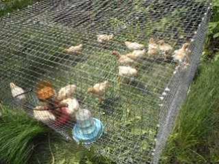 Первая прогулка цыплят ...пока светит солнышко