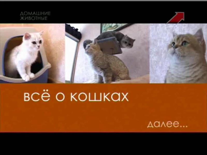 """""""Всё о кошках"""". Британские шиншиллы"""
