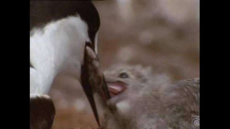 BBC - Wild Australasia (Дикая Австралазия)