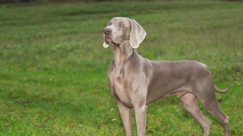 16_Ferplast - Как надеть шлейку Agila на вашу собаку - RU