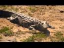 Посмотрите это видео на Rutube « WildLife Африка Жирафы, гиппо, зебры и антилопы под надзором крокодила Интернационал»
