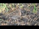 Swinhoe's Snipe Лесной дупель Gallinago megala