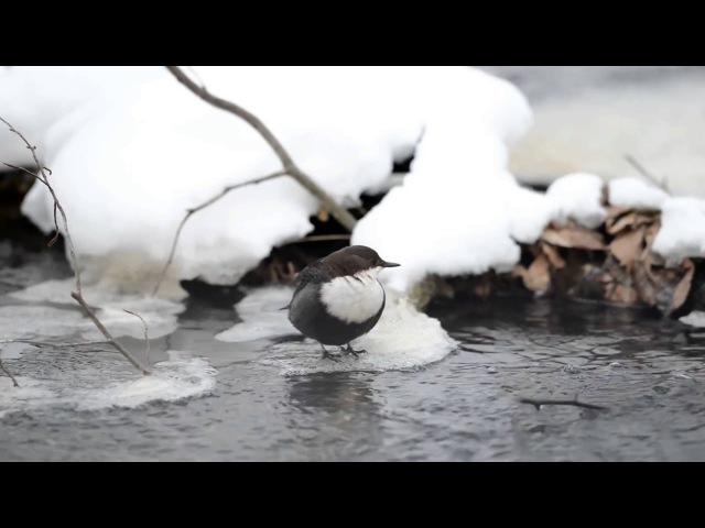 Пение птиц Оляпка Cinclus cinclus