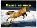 Охота на лису с норными собаками