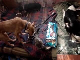 MOV06030   . Рэй, Пальма, Жуля и Тигрик едят подарочный корм