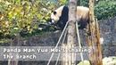 Panda Man Yue Mei's Shaking The Branch iPanda