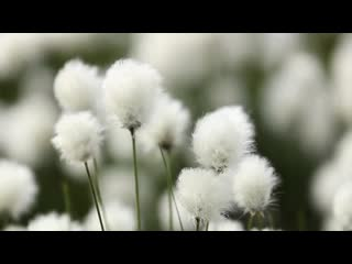 Cotton grass on the burned moors