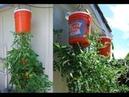 Tự tay trồng cà chua treo ngược tại nhà cho hàng xóm lé mắt chơi