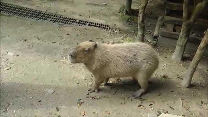 Capybara barks. The sound a capybara makes as a warning. カピバラは吠えます。音はカピバラは警告として作り124