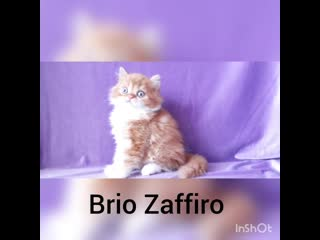 Рыжий кот. Купить котенка шотландского в Москве в питомнике кошек.