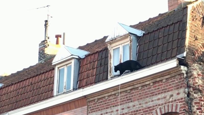 Черная пантера разгуливала по крыше многоквартирного дома в одном из французских городов.