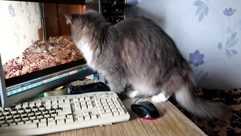Cat is playing with a rope Кошка играет с веревкой And watch video with it И смотрит видео с собой