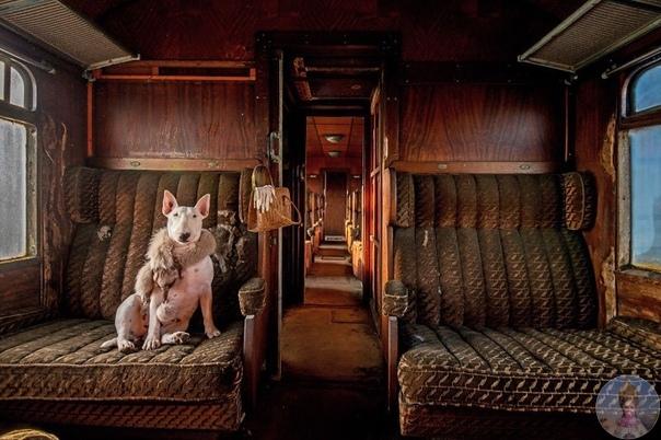 Любимая модель фотографа Элис ван Кемпен  ее трехлетний бультерьер Клэр