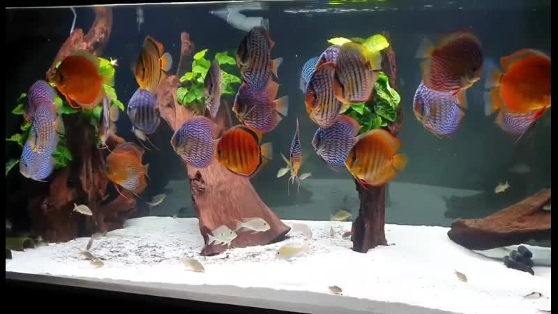 Gorgeous Discus Tank (350×80×80cm, 2000L, sumped) by Bianca and Andreas Tillmann